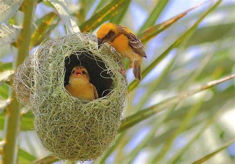 weaver and chick bird eggs bird nests birds pinterest