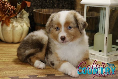 australian shepherd colors breeds australian shepherd wow