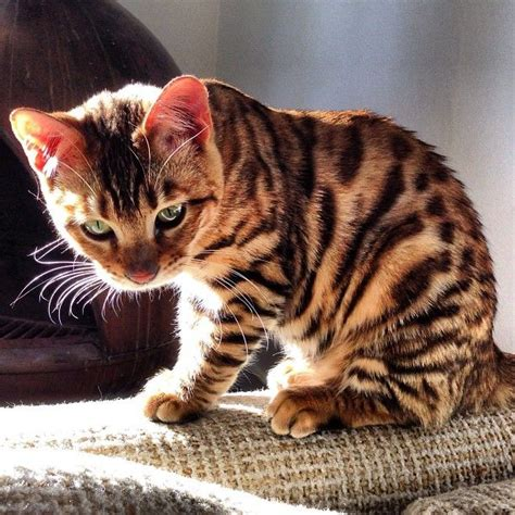 toyger cat from toygersociety this is pippa she s a 6 month