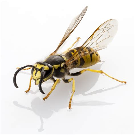 bees wasps and ants and other stinging insects classic reprint books wasps pesticide or deadly debugged