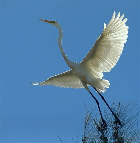 taking flight a history of birds and people in the heart of america ebook white heron in flight birds in backyards