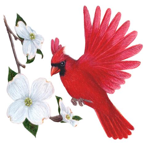 state bird of north carolina north carolina state bird and flower cardinal
