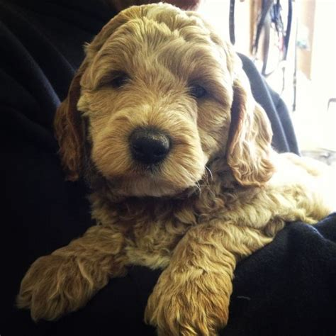doodle puppies new jersey miniature australian labradoodle from anker labradoodles