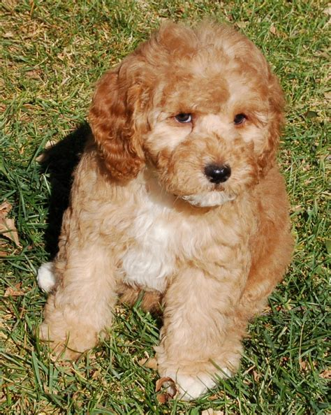 goldendoodle puppy facts miniature goldendoodle breed information autos post