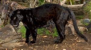 Jaguar Of San Diego Zoo S Black Jaguar Dies At Age 21 Fox5sandiego