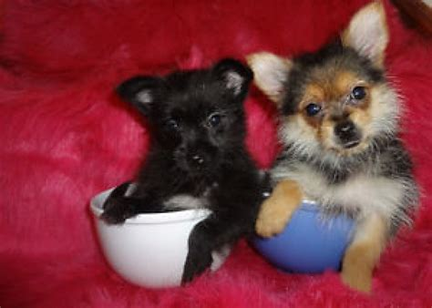 tiny pomeranians tiny pomeranian x yorkie offer