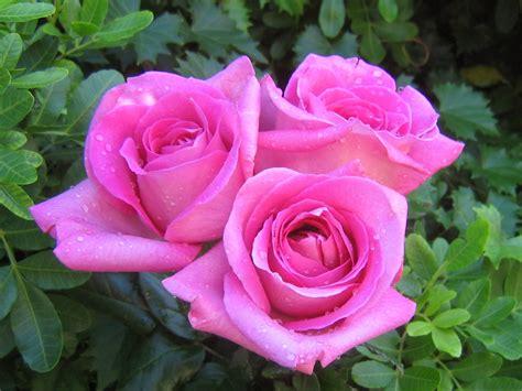info lengkap mengenai bunga mawar selingkaran com info lengkap mengenai bunga mawar selingkaran com