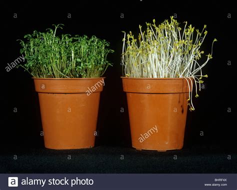 plants that need no light response of cress to growth in no light causing etiolation