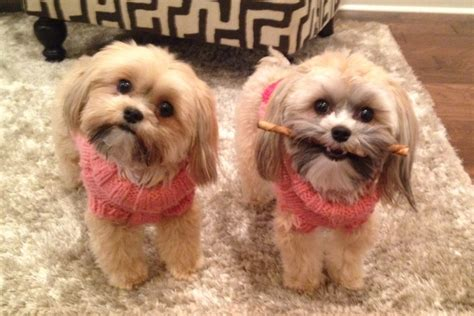 how does a shih tzu pregnancy last image gallery shorkie haircuts