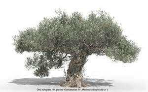 olive tree olive tree olea europaea olive tree hd