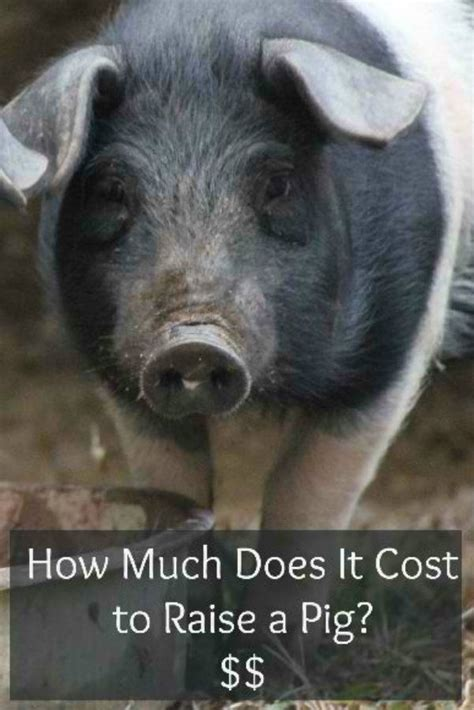 how to raise pigs in your backyard 1000 images about pastured pigs on pinterest bacon