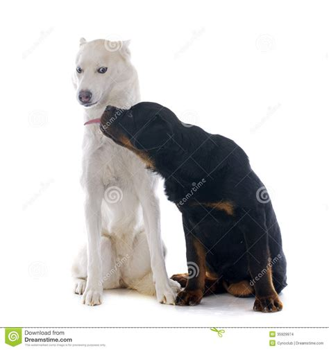 husky and rottweiler siberian husky and rottweiler stock images image 35929974