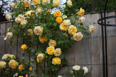 large flowered climbing plant temperate climate permaculture permaculture plants roses