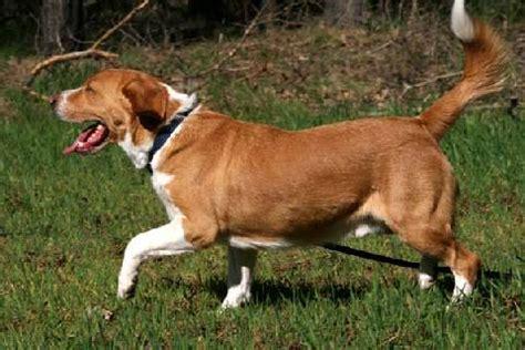 beagle in der wohnung happy end balou beagle labrador mischling r 252 de