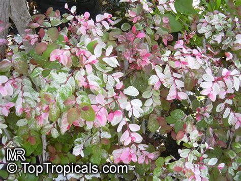 Variegated Foliage Plants - breynia disticha breynia nivosa snow bush hawaiian leaf flower sweet pea bush calico plant