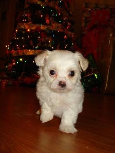 maltese bichon puppies for sale 17 best images about puppies on siberian husky puppies border collies and