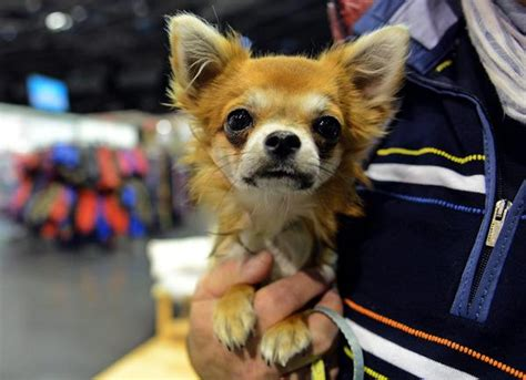 are dogs descended from wolves if dogs are descended from wolves then explain chihuahuas latimes