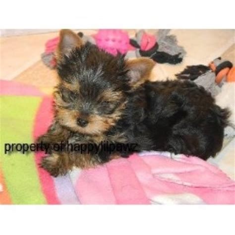 yorkie rescue mn terrier yorkie breeders in minnesota freedoglistings breeds picture