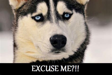 Siberian Husky Meme - excuse me siberian husky kinda meme thing by cardverse dog