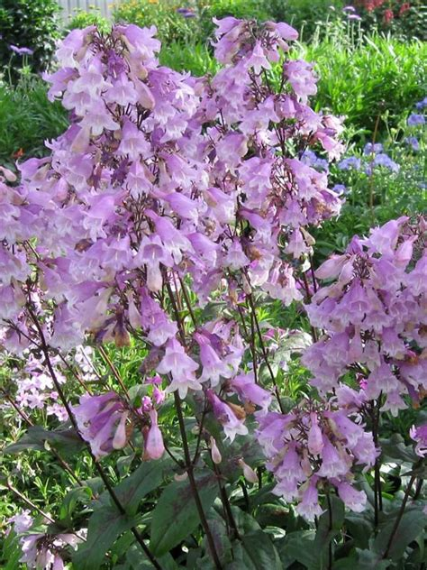 penstemon flowers flowers ideas for review
