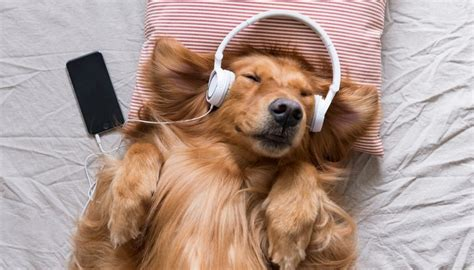 dogs soundtrack calming for dogs what is it and how can hammametnow