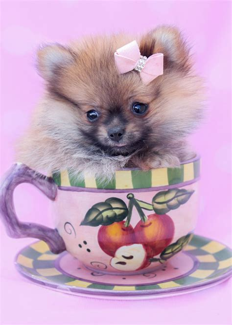 breed teacup pomeranian teacup puppies by breed yorkies chihuahuas pomeranians