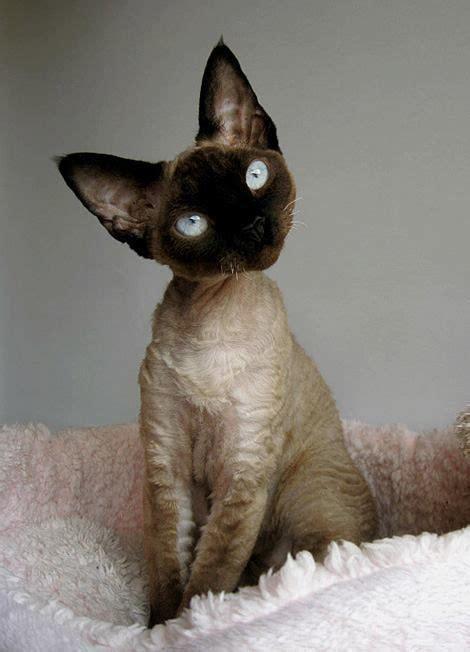 1000 ideas about devon rex kittens on pinterest devon