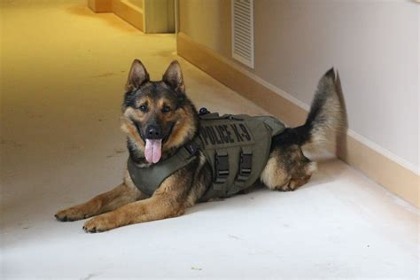 cop dogs 6 dogs in washington equipped with vests the columbian