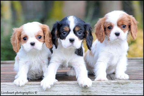 honden te koop cavalier king charles pups te koop pups king charles te