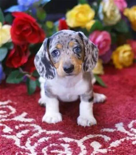 dapple dachshund puppies for sale in houston dachshund puppies puppys and dachshund on