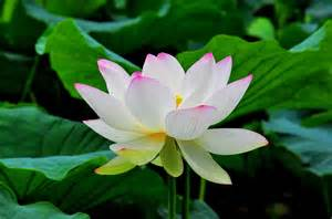What Are Lotus Flower Lotus Flowers
