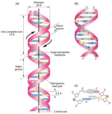 dna diagram dna structure related keywords dna structure