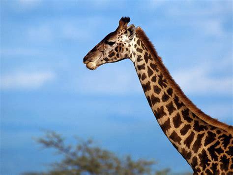 ver imagenes jirafas fisiolog 205 a animal por una futura documentalista
