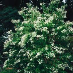 a fall blooming shrub tree to discover laidback gardener