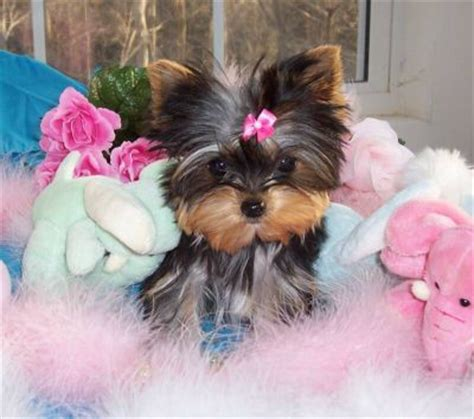 how much are baby teacup yorkies yorkie puppies for adoption kbundroc yahoo douglas az