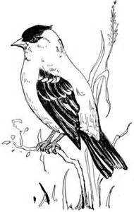 American Goldfinch coloring page | SuperColoring.com