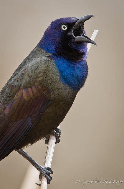 purple grackle birds pinterest