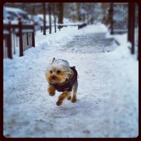 yorkies in the snow yorkie snow on 69 photos on yorkie