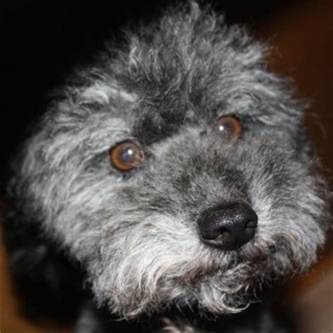 bich poo also known as poochon bichpoo bichon poodle bich poo also known as poochon bichpoo bichon poodle