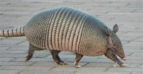 clay armadillos   moving north    avoid cars
