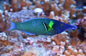 green bird wrasse large heavy body and large lips the fish directory
