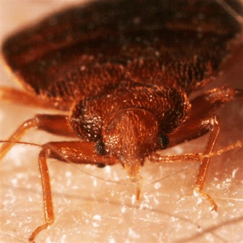 how to get rid of bed bugs yourself fast search results for bed bug how to get rid of stuff