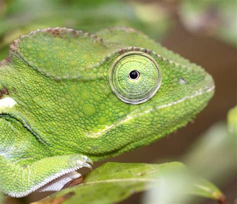 Chameleon Headl madagascar 2013 photo page