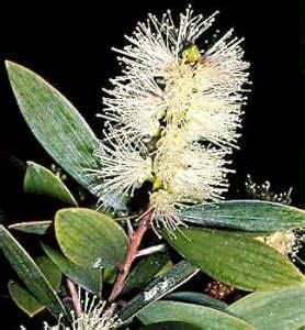 Minyak Kayu Putih Asli Pulau Buru fakta tentang minyak kayu putih buru maluku dan