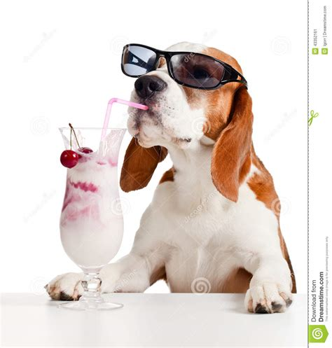 cocktail dogs in sunglasses drink cocktail stock photo image 43352161