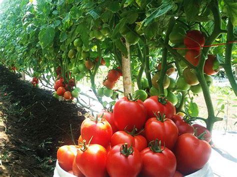 tips budidaya menanam tomat  benar  berbuah