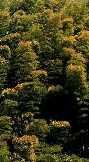 Moso, Japan?s giant bamboo, Phyllostachys edulis ? Botany Boy