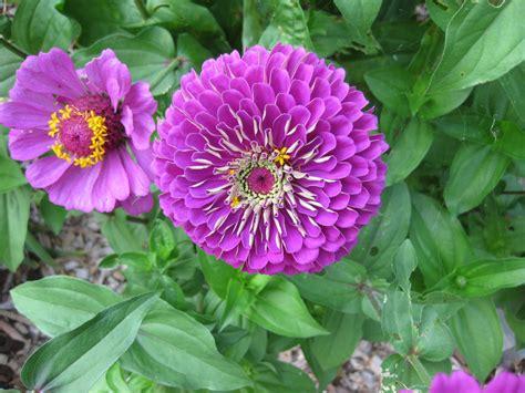 Garden Flowers Annuals Winter Sow Veggies Flowering Annuals Now