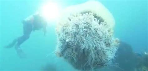 giappone filma la medusa di nomura una delle specie pi 249