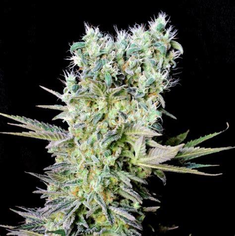 northern lights x feminised cannabis seeds genehtik